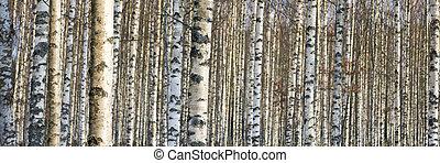 trunks of birch trees