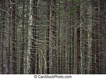trunks of conifer trees