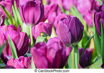 Close up of tulips lit by sunlight