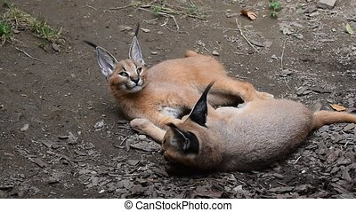 Close up of two baby caracal kittens resting - Close up view...