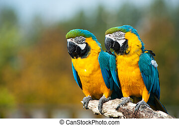close up of two beautiful blue and yellow macaws (Ara ararauna)