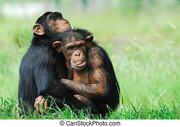 two cute chimpanzees - close-up of two cute chimpanzees (Pan...