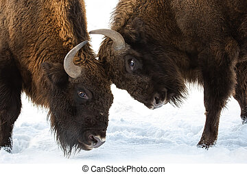 Close-up of two European bison males fighting over territory...