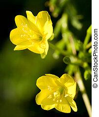 Evening Primrose - Close-up of two Evening Primrose blossoms...