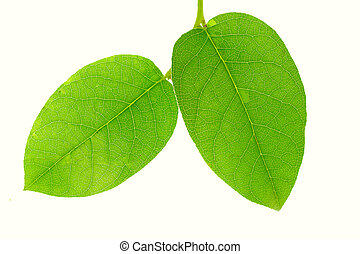Close-up of two green leaves isolated on white background
