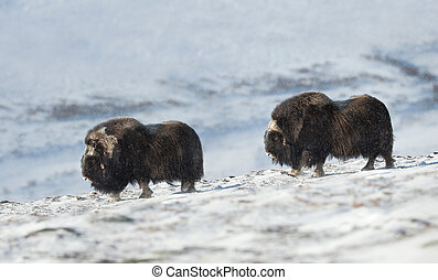 Close up of two male Musk Ox in snowy mountains - Close up...