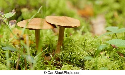 Close up of two mushrooms in forest - Close up of two brown...