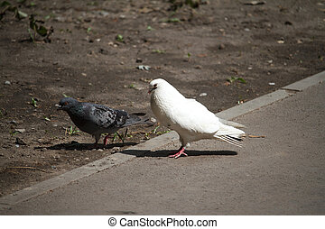 Close-up of two pigeons a female and a male are walking along the sidewalk near an empty flower bed in a recreation park.