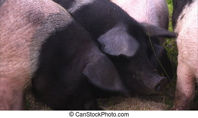 Close up of two pigs faces as they eat