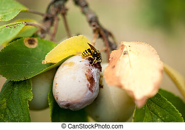 close up of two plums, one healty and one moldy, with hornet on them