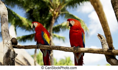 close up of two red parrots sitting on perch