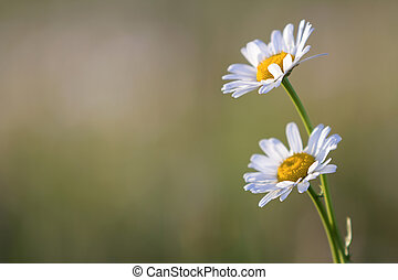 Close-up of two tender beautiful simple white daises with bright yellow hearts lit by morning sun blooming on high stems on blurred foggy soft green background. Beauty and harmony of nature concept.