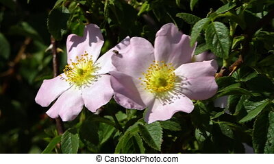 Close up of two wild roses
