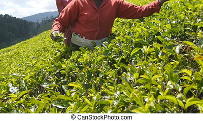 Close up of unrecognizable female hands harvest tea at plantation on sunny day in spring season. Local indian woman picking fresh leaves from green bushes at highland. Beautiful nature landscape