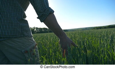 Close up of unrecognizable young male farmer walking through the cereal field and touching green wheat ears on summer day. Agriculture concept. Blue sky at background. Rear back view Slow motion