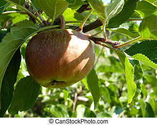 Close Up of Unripe Apple Hanging on Tree - Close up of...
