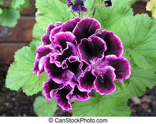 variegated geranium - close up of variegated geranium in...