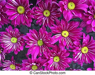 Close up of vibrant bright purple chrysanthemums on the water.