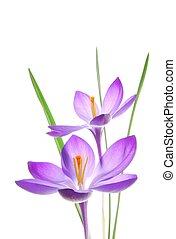violet spring crocus - Close-up of violet spring crocus...