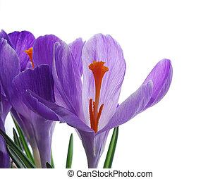 spring crocus - Close-up of violet spring crocus with...