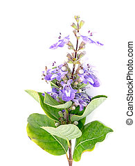 Close up of Vitex rotundifolia plant. - Close up of Vitex ...