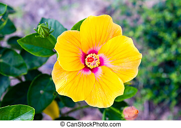 Vivid yellow hibicus is blooming