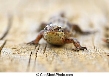 close up of viviparous lizard on wood board - close up of...
