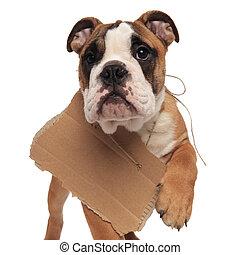 close up of walking english bulldog wanting to be adopted on...