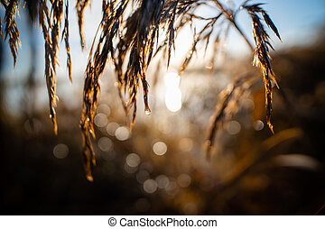 Close up of water drop on a reed plume with rising sun in the early morning