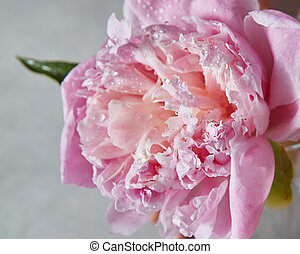Close-up of water droplets on a delicate pink peony flower with green leaf on a gray background. Top view