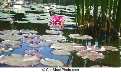 water lilies in a quiet pond - close up of water lilies in a...