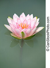 Close-up of Water-lily