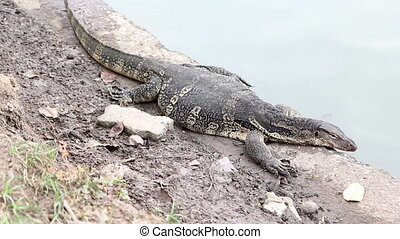 Close-up of water monitor
