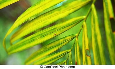 Close up of wet palm leaf nature background. Slow motion....
