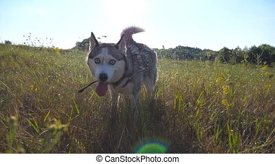 Close up of wet siberian husky dog shaking off drops of...