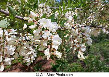 close-up of white Acacia flowers