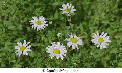 Close up of white chamomile flowering in spring.