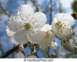 close up of white cherry blossom with blue sky