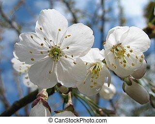 blossom - close up of white cherry blossom with blue sky