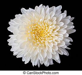 close up of white chrysanthemum or white mum