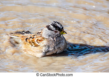 Close up of White crowned sparrow (Zonotrichia leucophrys) bathing in a puddle; San Francisco bay area, California