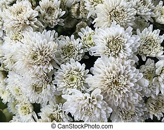 Close up of white flowers chrysanthemums.