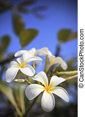 close up of white frangipani bouquet flower on tree plant vertical form use as natural background or backdrop and multipurpose