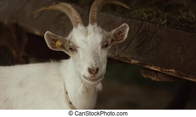 Close-up of white goat head. The ear tag is implanted