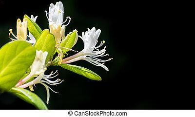 Close up of White Honeysuckle (Lonicera caprifolium) flowers...