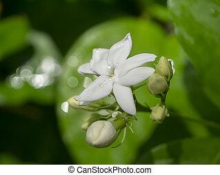 Close up of white jasmine flower