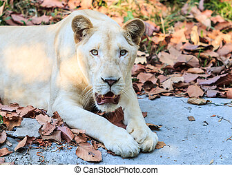 Close-up of White lion in the zoo
