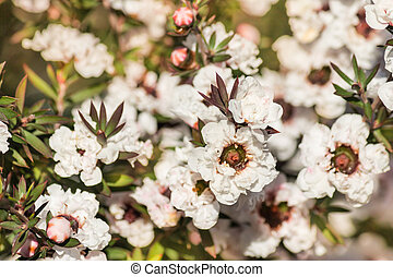 white manuka tree flowers in bloom - close-up of white ...
