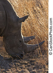 Close-up of white rhino head with tough wrinkled skin