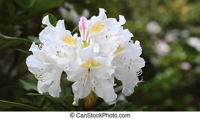 Close up of white rhododendron flower trembling on the wind....